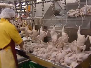 للبيع دجاج اوكرانى ذو الجودة العالية والسعر المميز